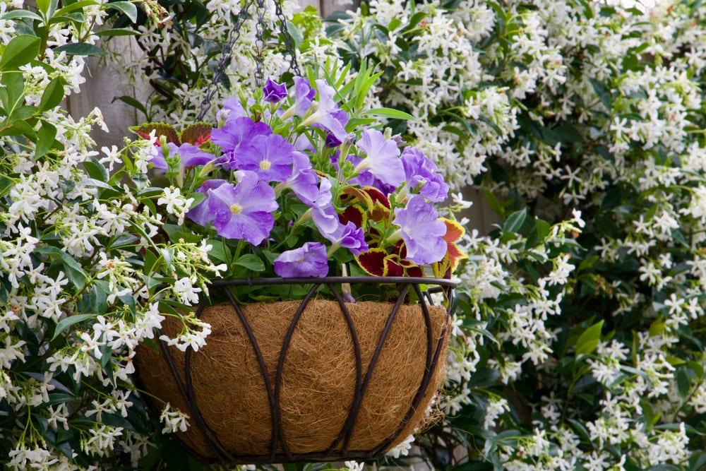 hanging basket displaying petunias with a background of flowering star jasmine