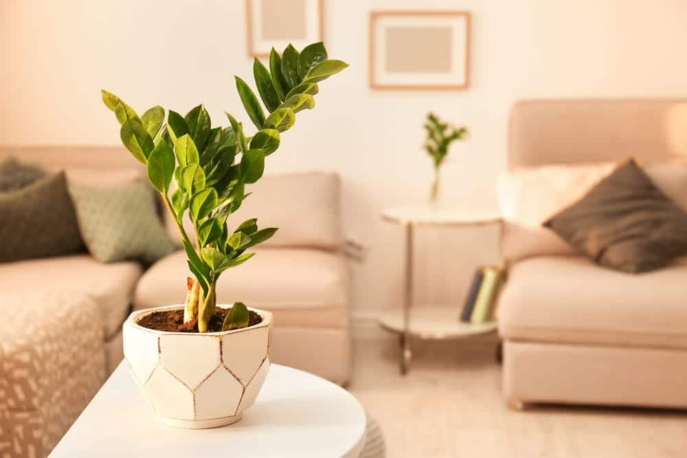 ZZ plant with green leaves in beautiful home interior
