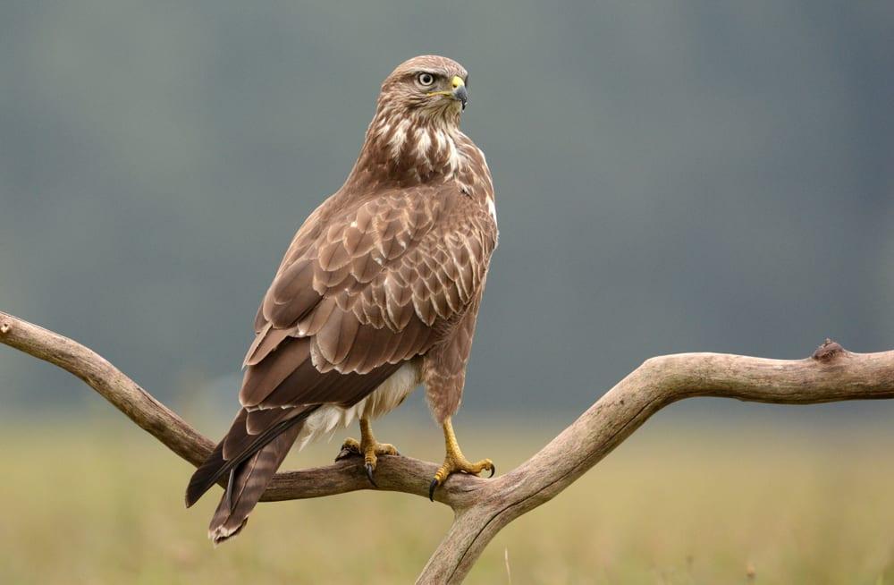 Common buzzard (Buteo buteo) sat on branch