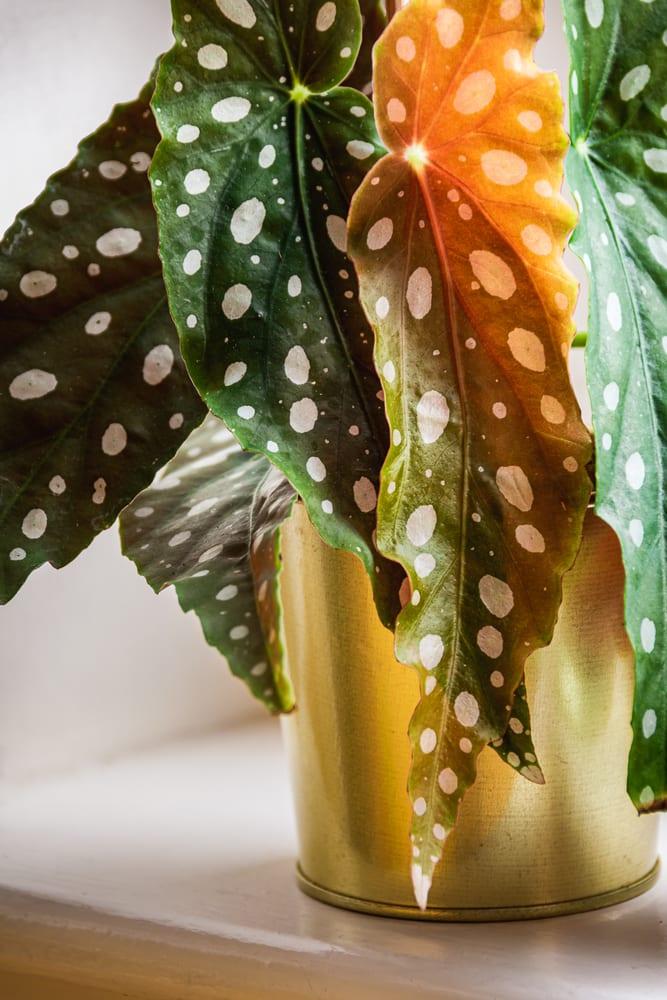 polka-dot patterned leaves of polka-dot begonia in gold plant pot