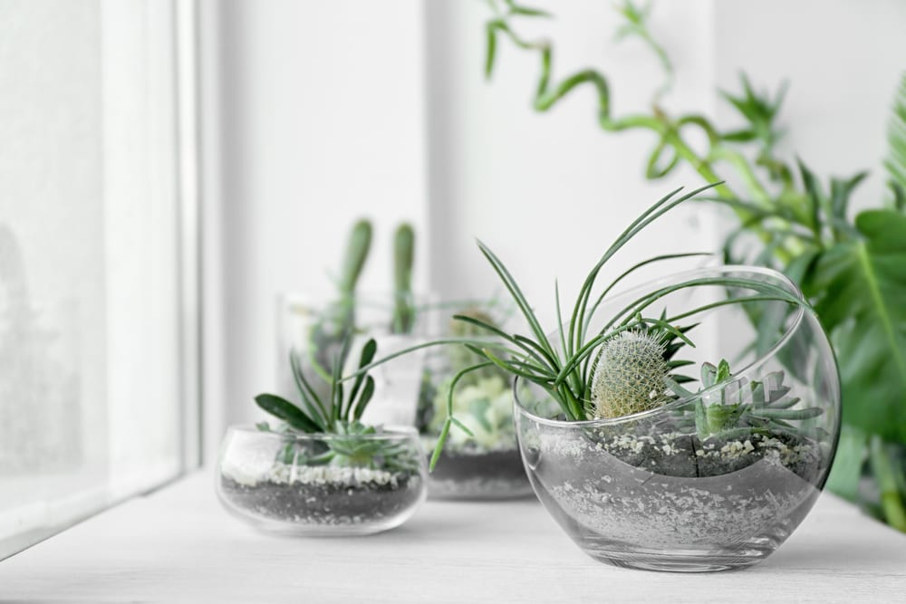 succulents in multiple glass terrariums