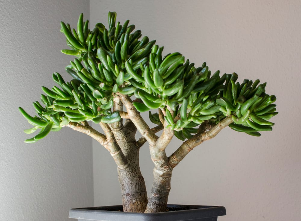 Crassula ovata indoors, potted in a bonsai style