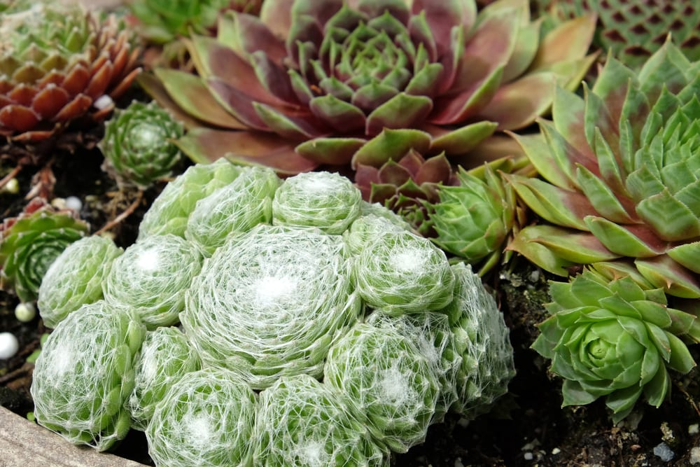 cobweb common houseleek with other succulents in the background