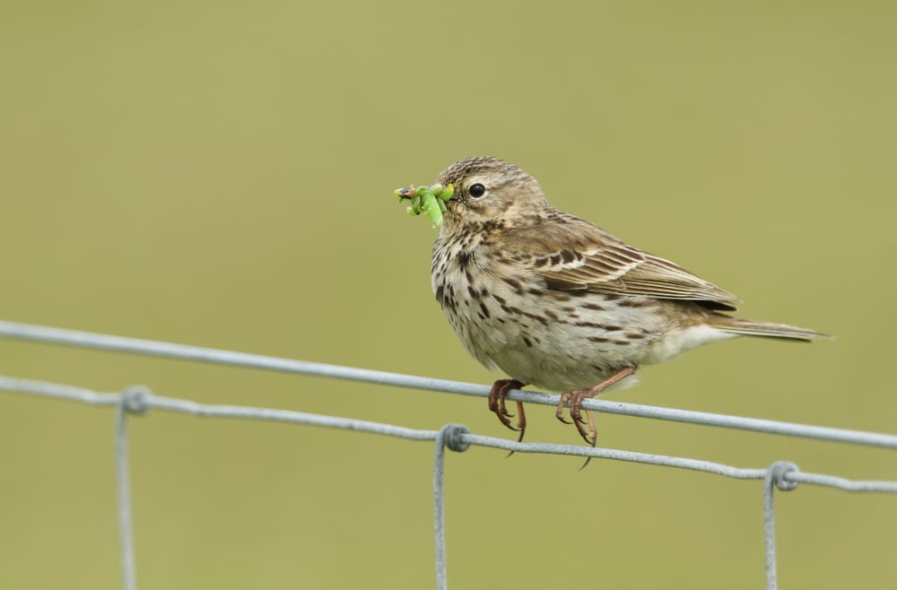 a Meadow pipit sat on a wire fence eating a caterpillar