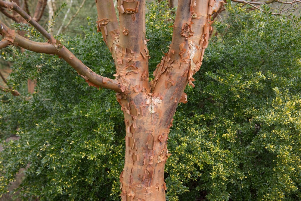 Paperbark Maple (Acer griseum) tree with greenery in background