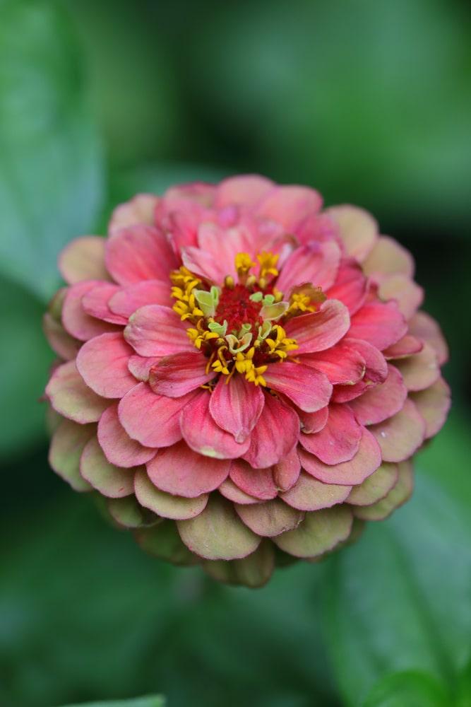 Close up of Dahlia flowered Zinnia