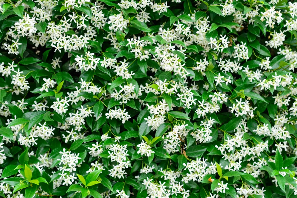 Wall of Chinese star jasmine flowers