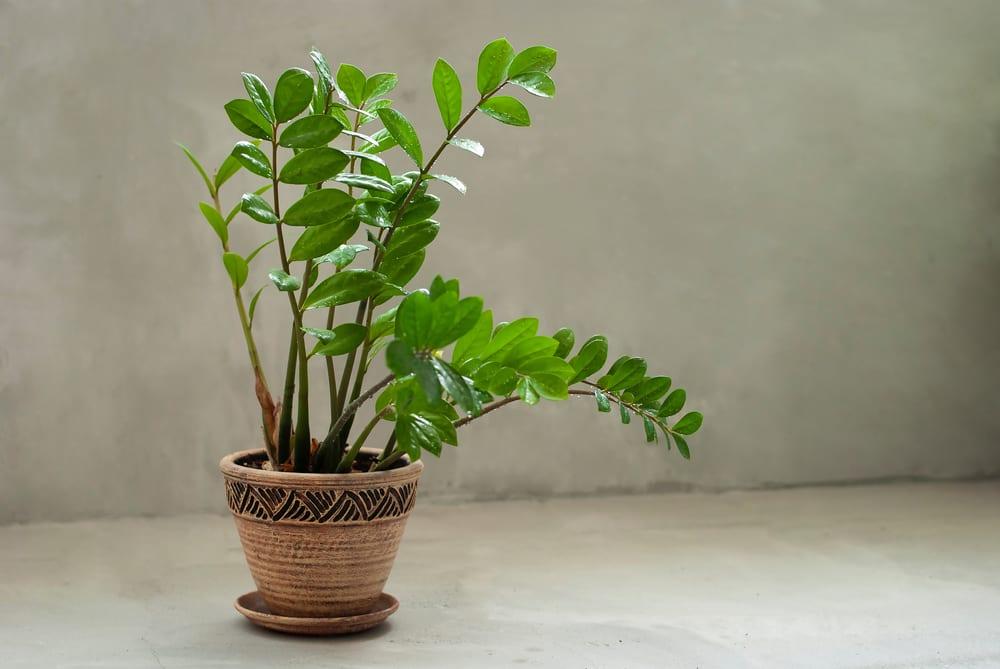 Beautiful Zamioculcas home plant
