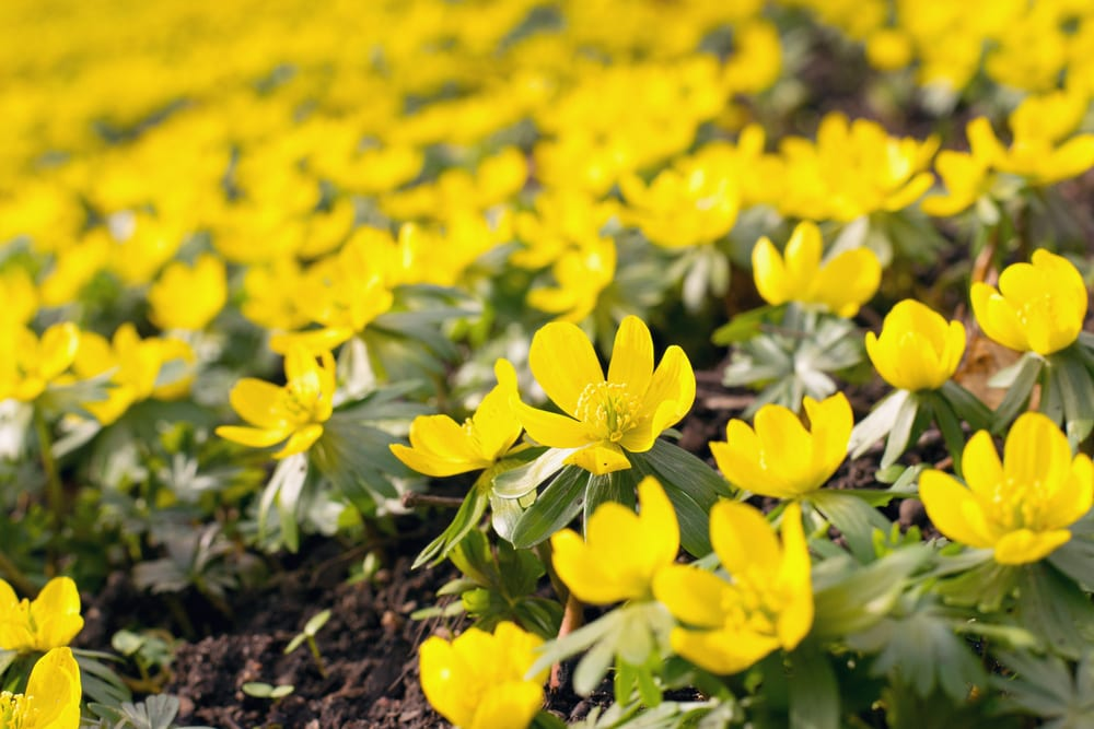 Winter Aconite flowers blooming on forest ground