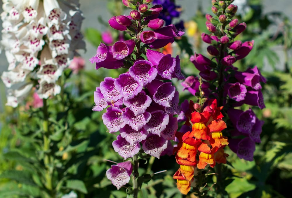 colourful orange, white and purple foxgloves with green leaves