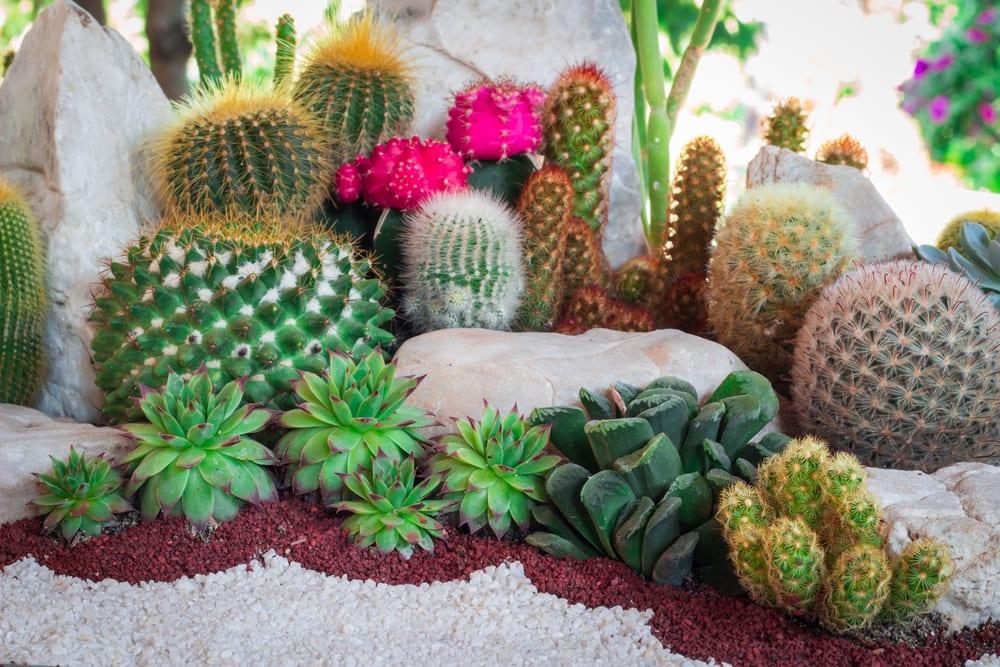 various cacti alongside houseleeks
