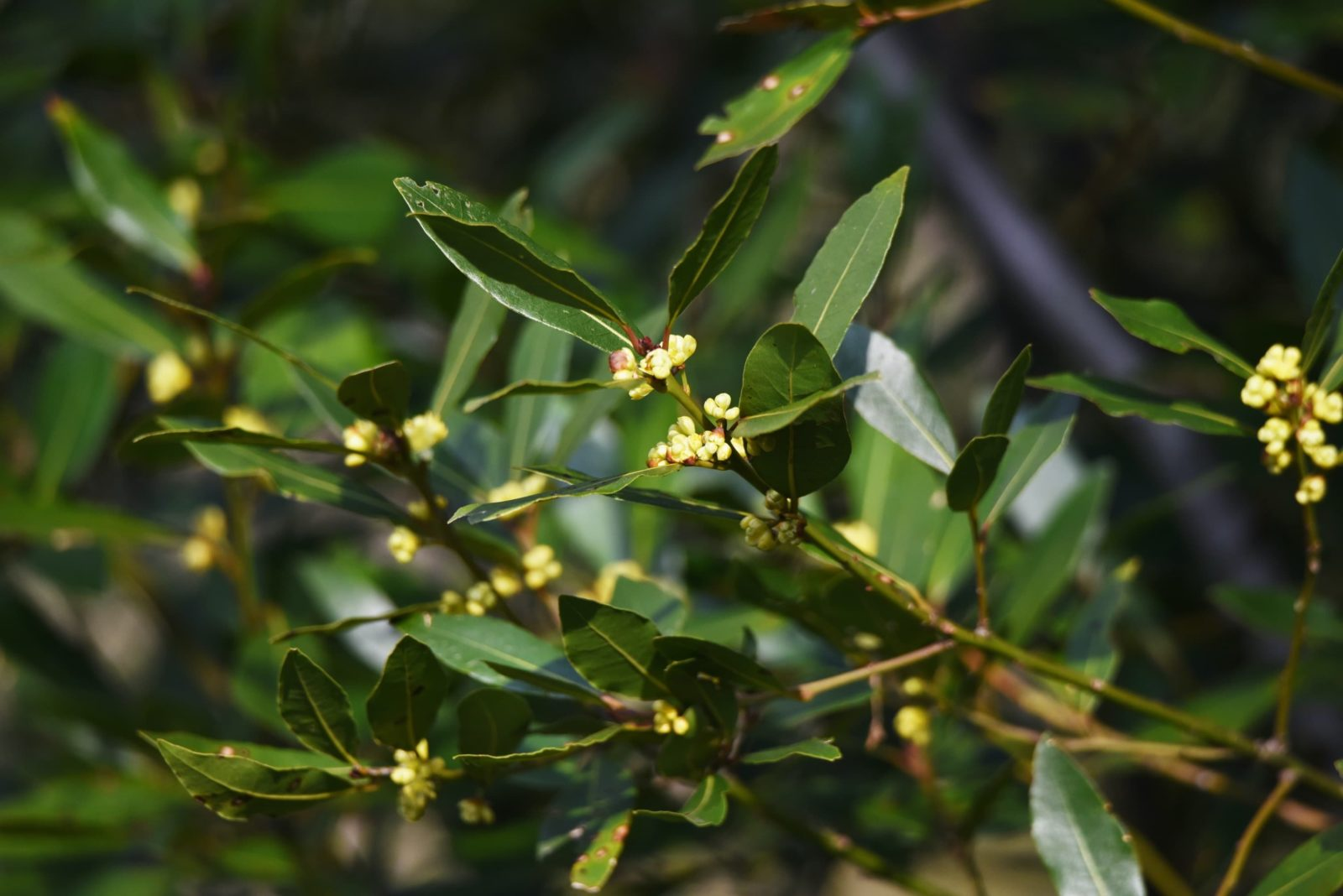 bay laurel leaves and yellow flowers