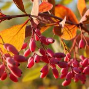 berries on berberis in autumn sunlight