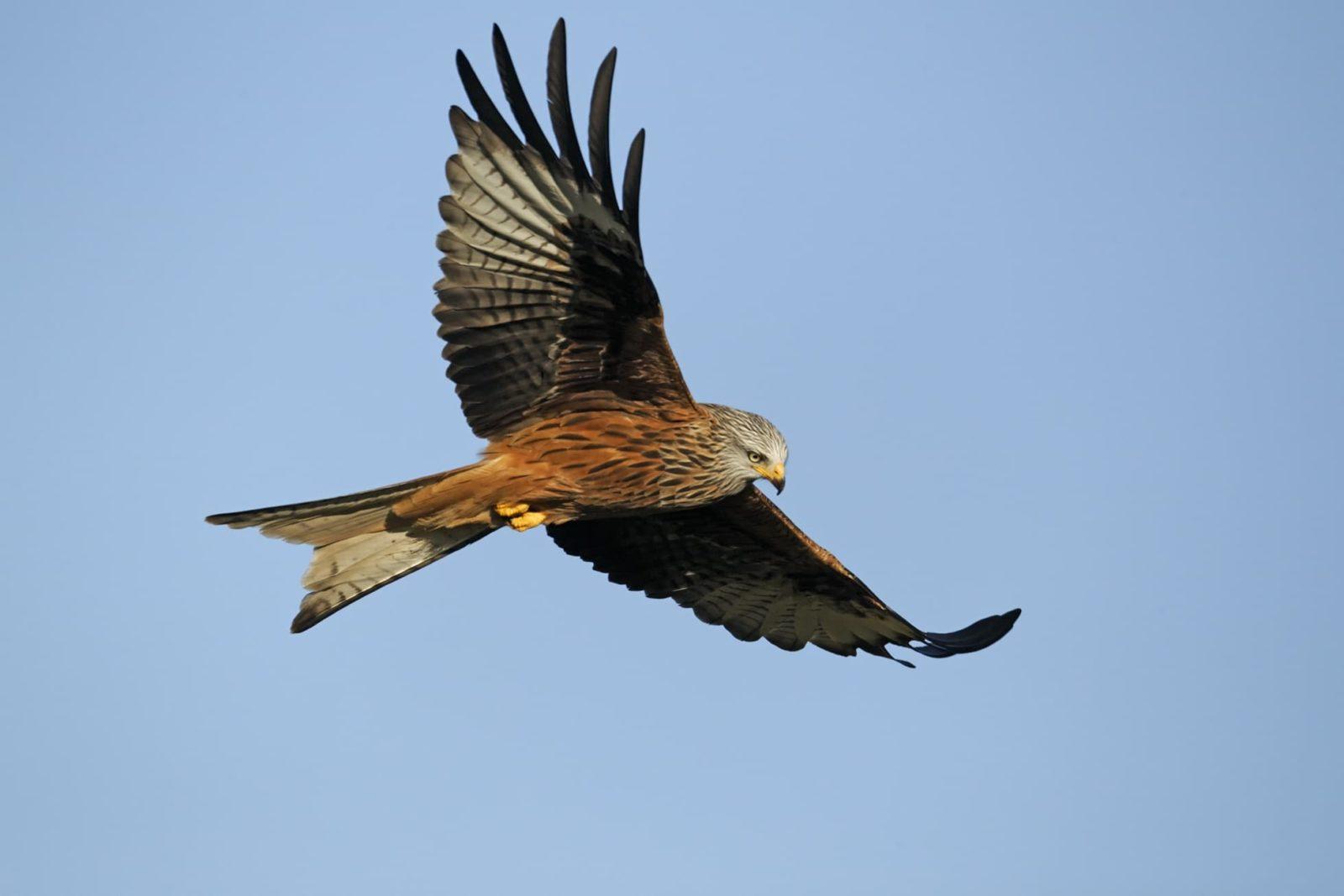 Red kite bird in flight