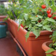 tomato planters in the corner of a balcony