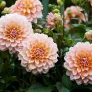 beautiful orange dahlia flowers in a garden