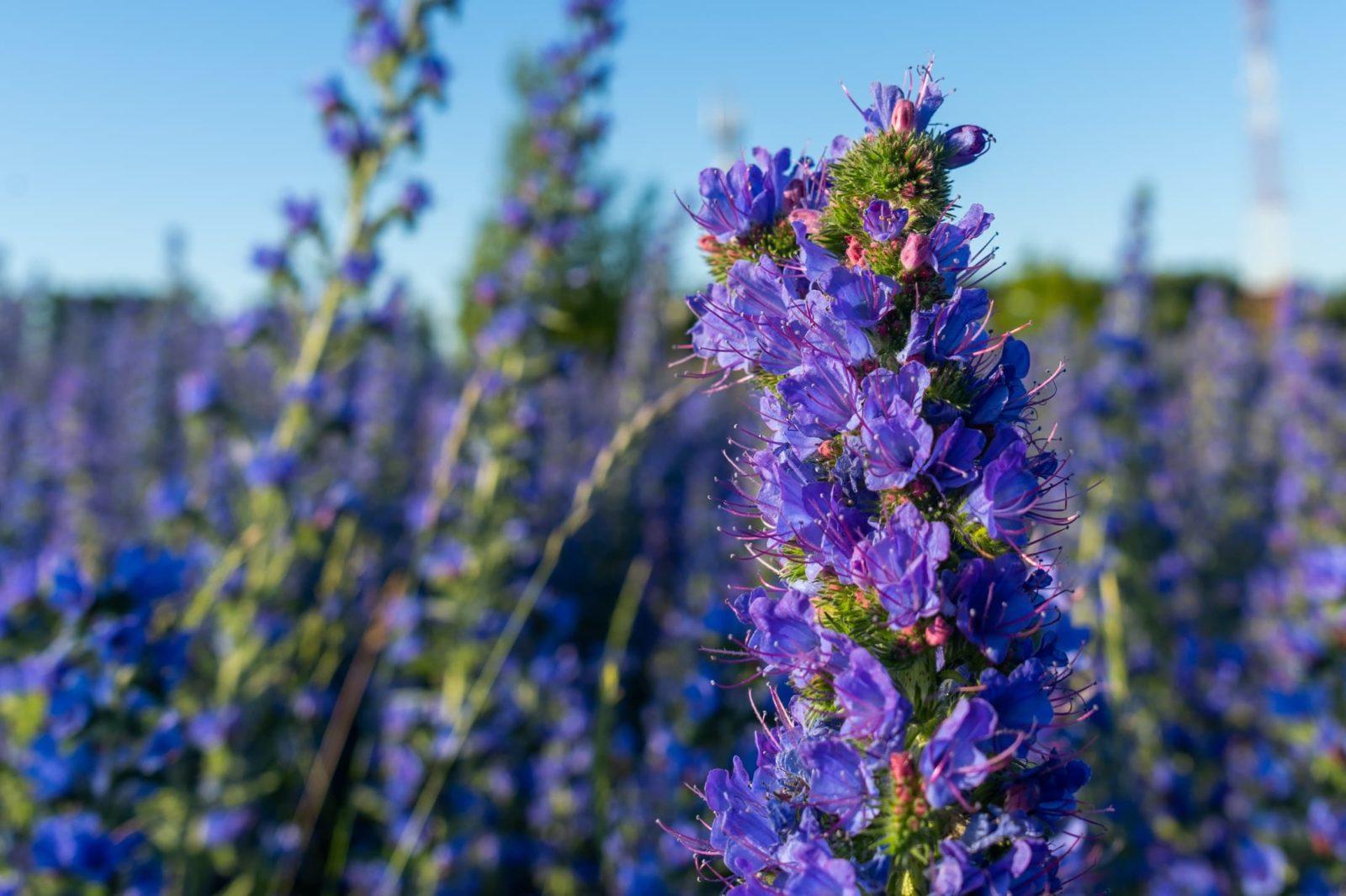 purple echium blooms in a meadow