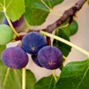 Close up of purple figs on tree branch