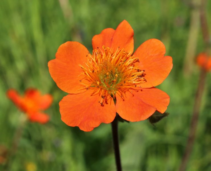 close up of orange geum flower with green foliage in background