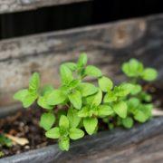 oregano growing in a pallet planter
