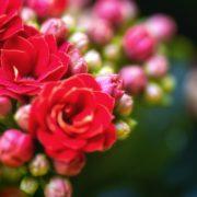 close up of red kalanchoe blossfeldiana