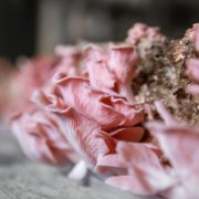 pink mushrooms being farmed at home