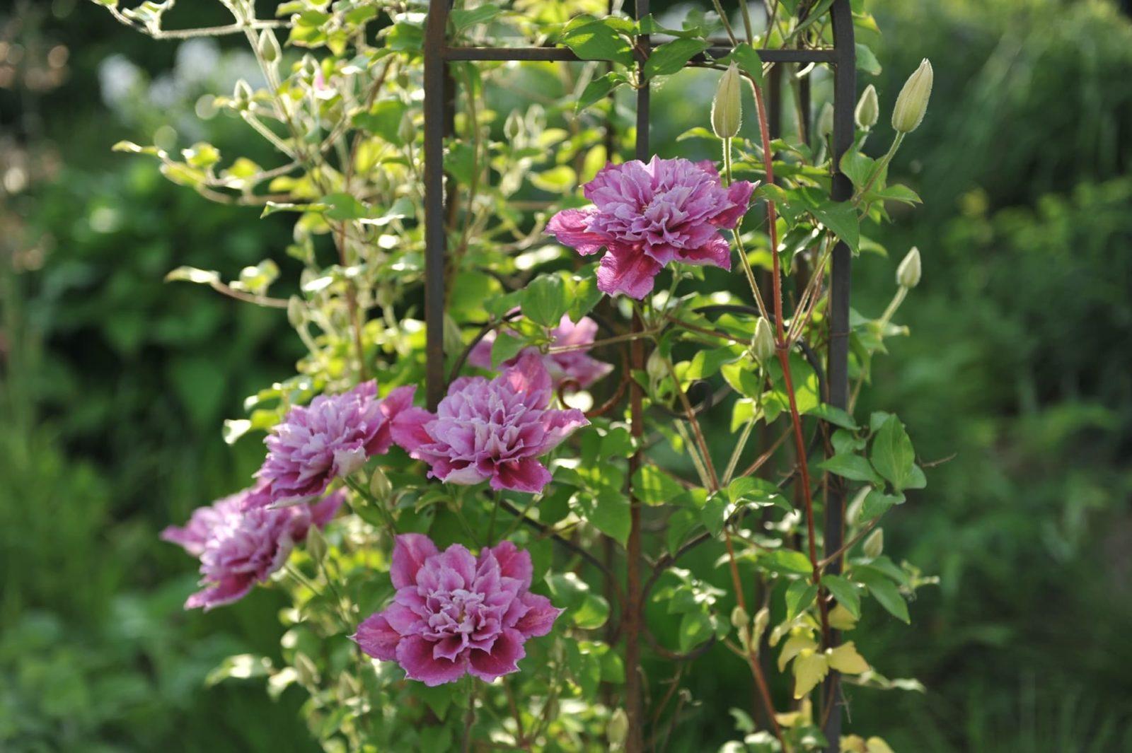 pink clematis piilu growing up a garden obelisk