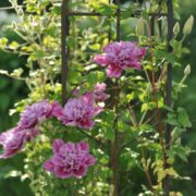pink clematis piilu growing up a garden obelisk