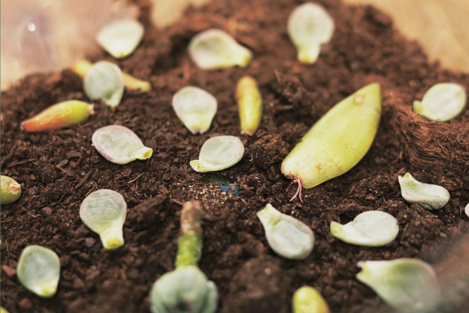 succulent cuttings sat on soil