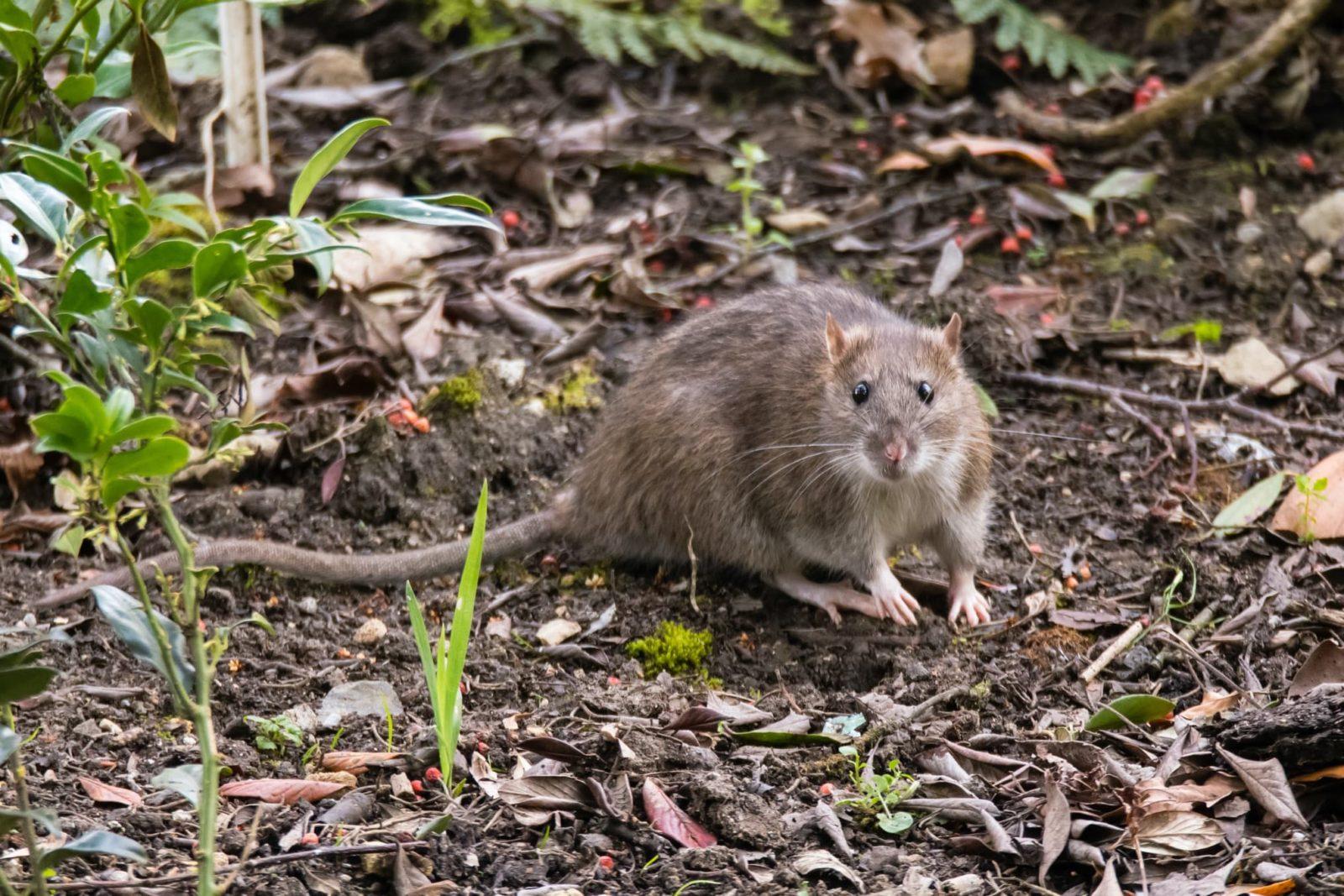 brown rat on soil in garden