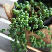 close up of string of pearls in a pot