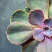 Succulent Echeveria Perle von Nürnberg