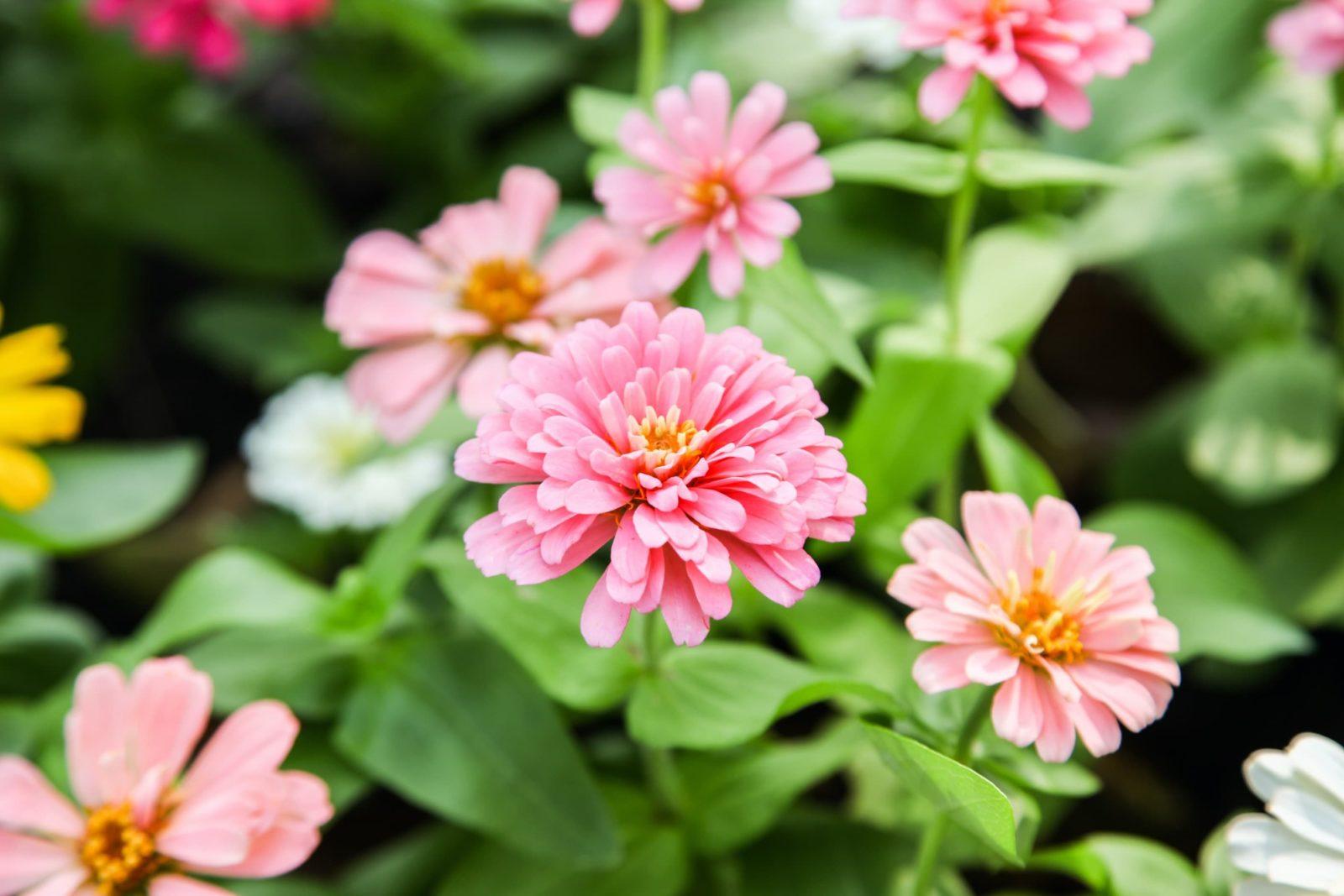 Pink zinnia flowers in a garden