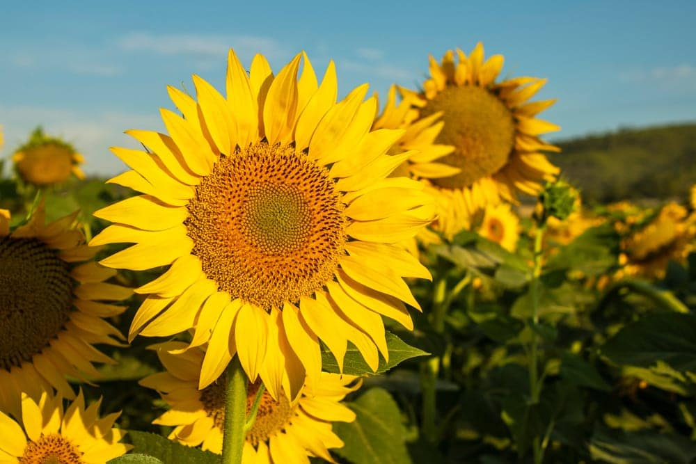 sunflowers grown on a mountain in Alicante