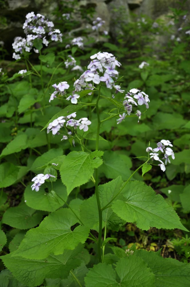 Spring in the wild, the forest blooms Lunaria rediviva