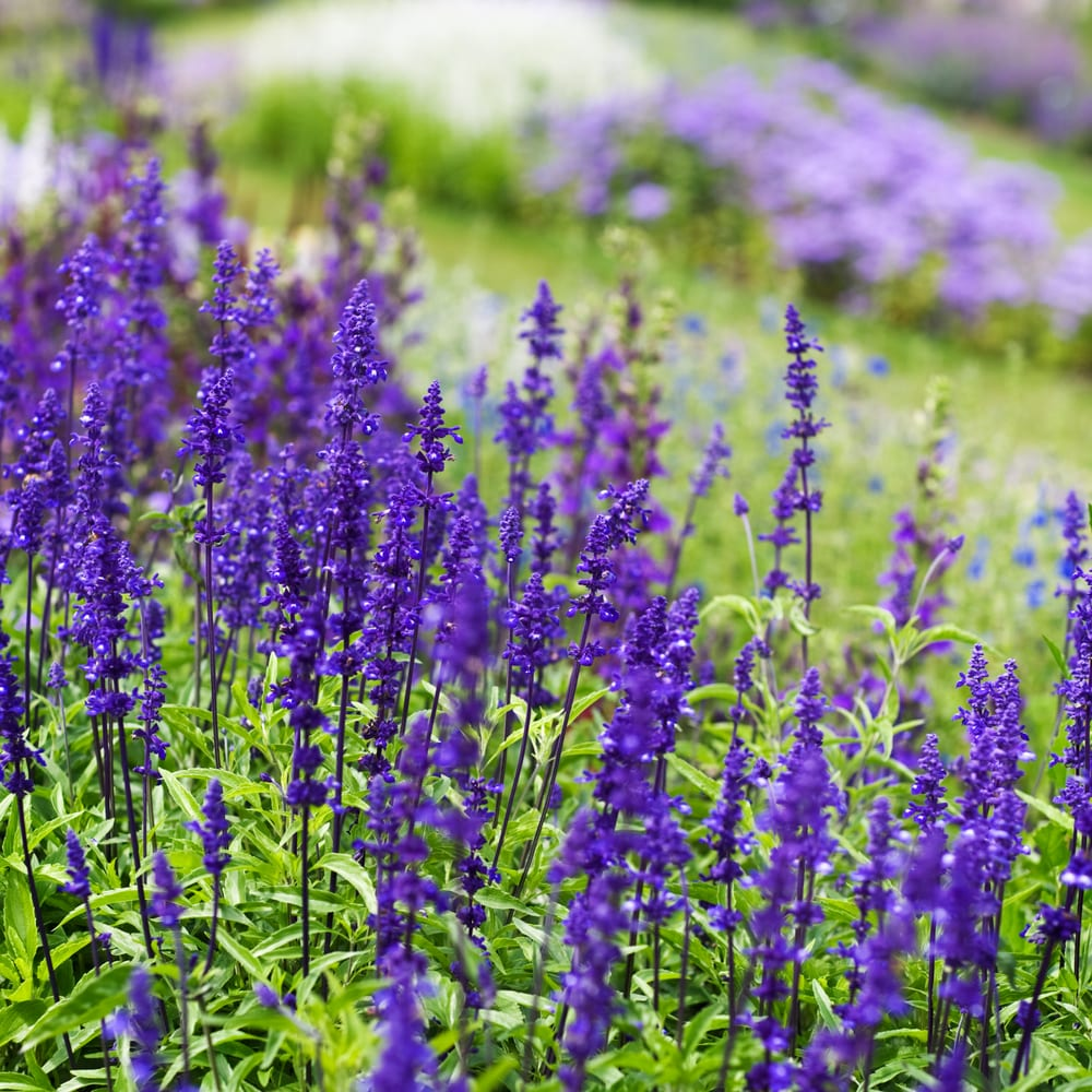 flowerbed with meadow sage