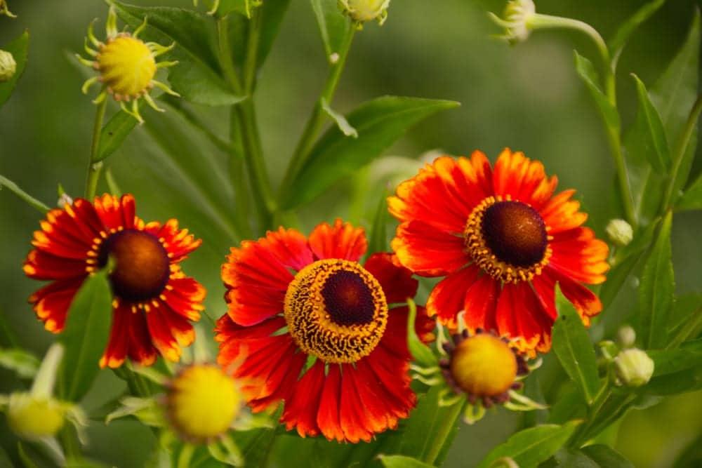 Three helenium flowers