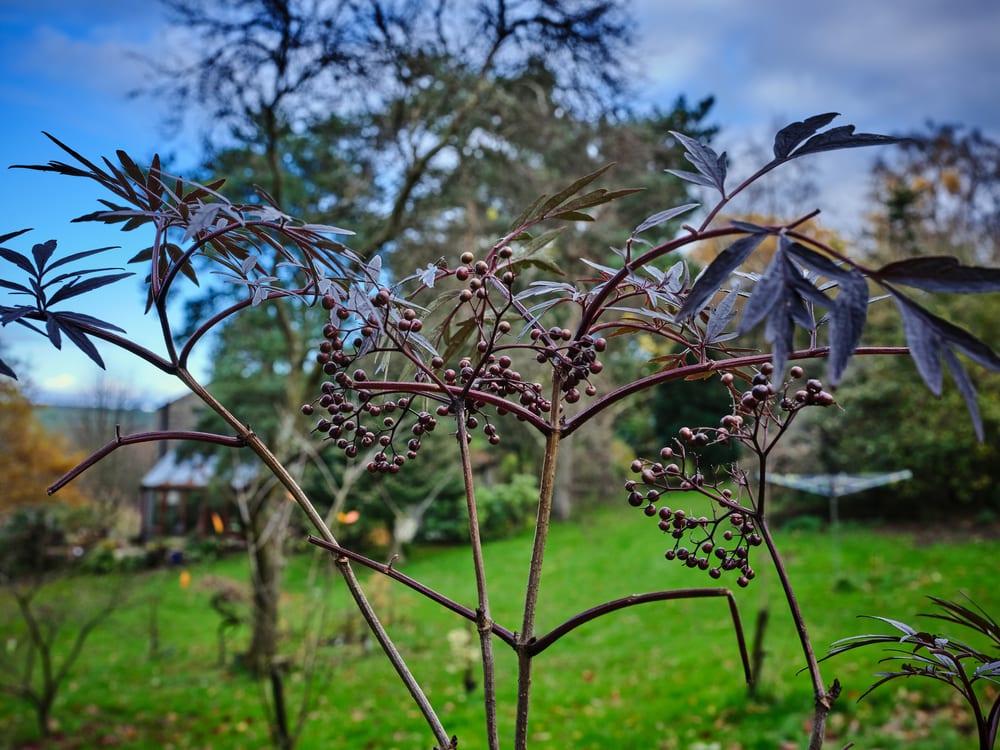 Elderflower Sambucus berries in a garden