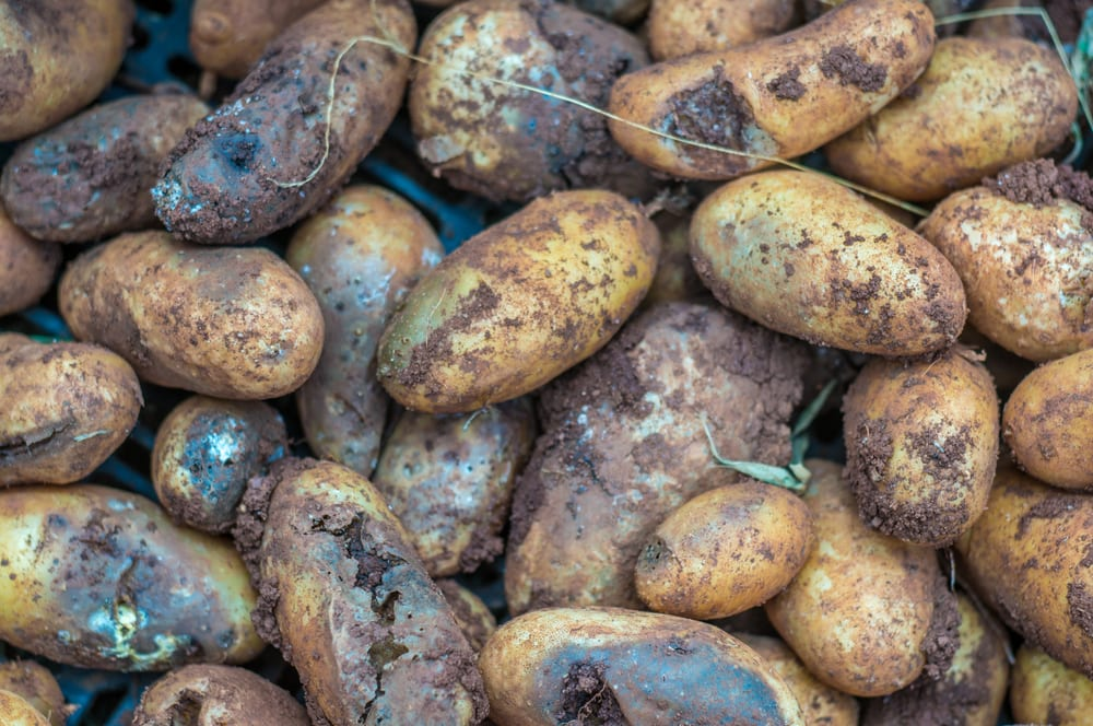late blight on potato tubers