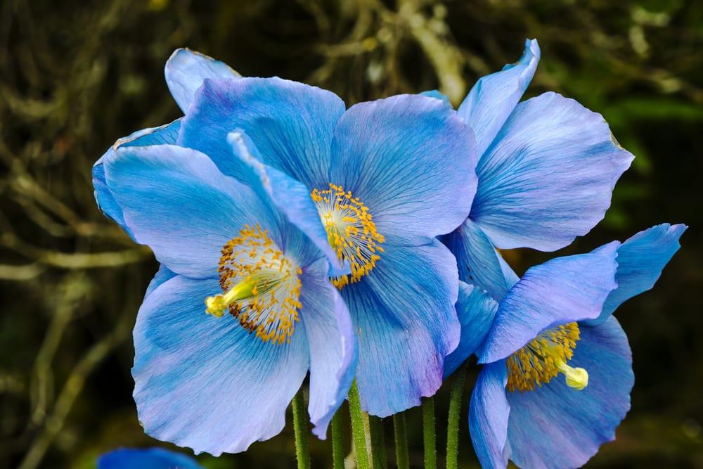 Himalayan blue poppy close-up.