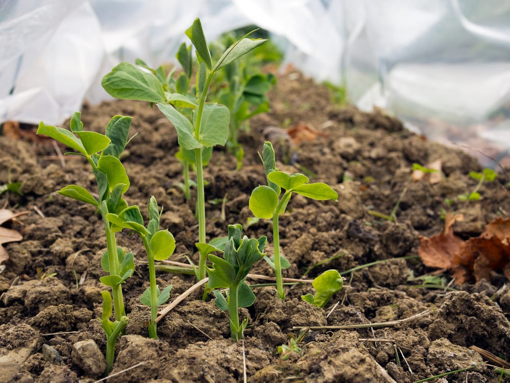 Pea plants growing under plastic covers