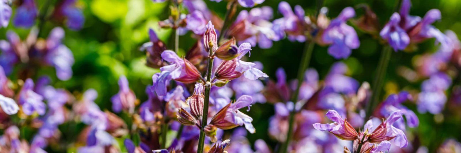 panoramic view of purple salvia flowers