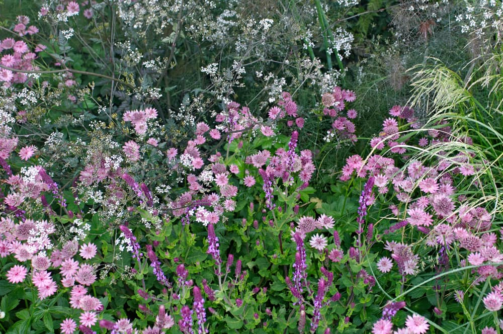 a flower border with nectaroscordum and astrantia