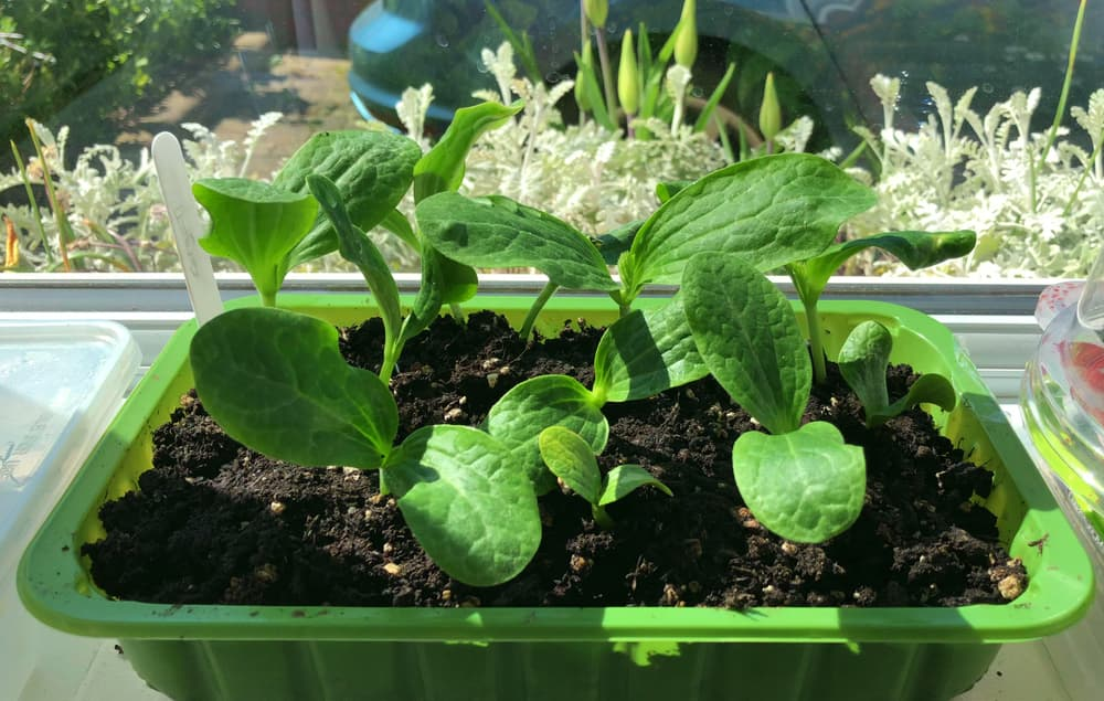 courgettes seedlings in a green plastic pot