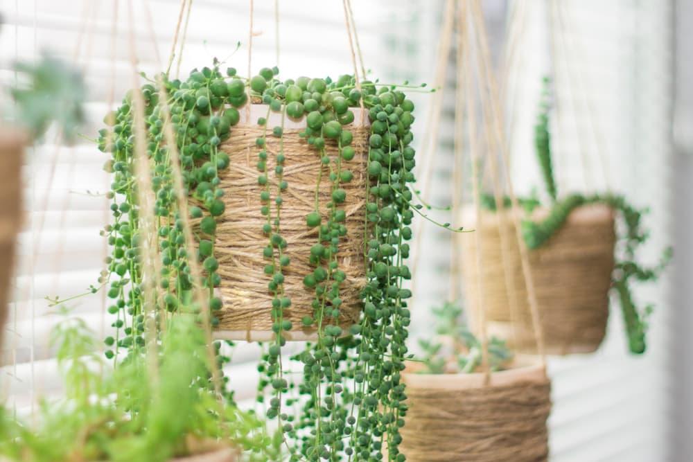 Hanging garden - succulent plants in similar twine pots