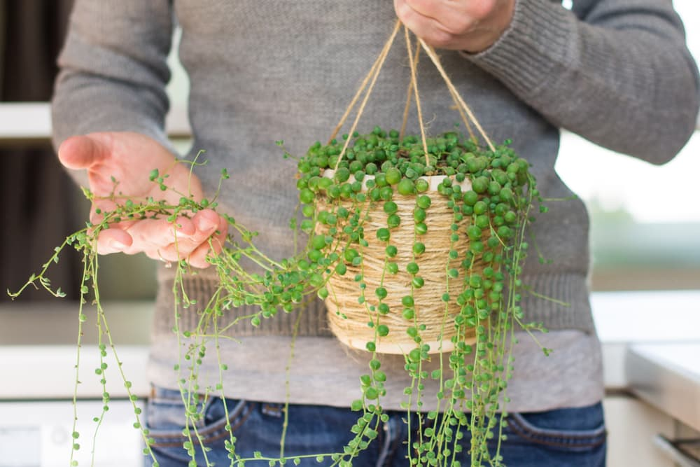 Woman holding string-of-pearls plant in her hand