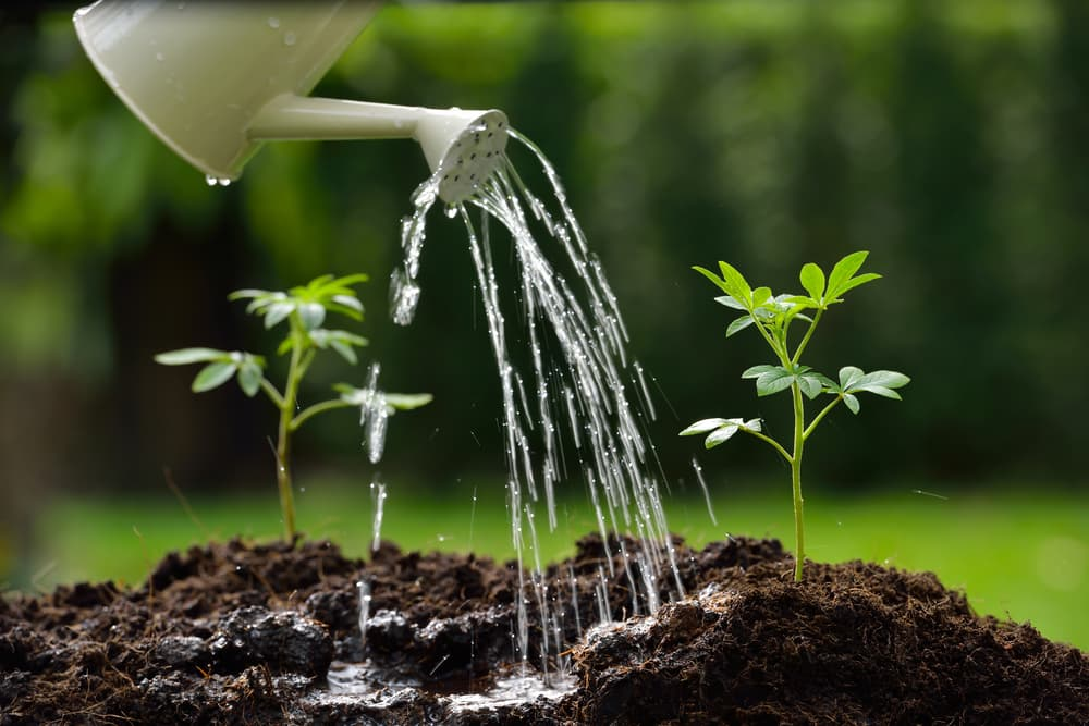 plants sprouting from soil being watered by a can