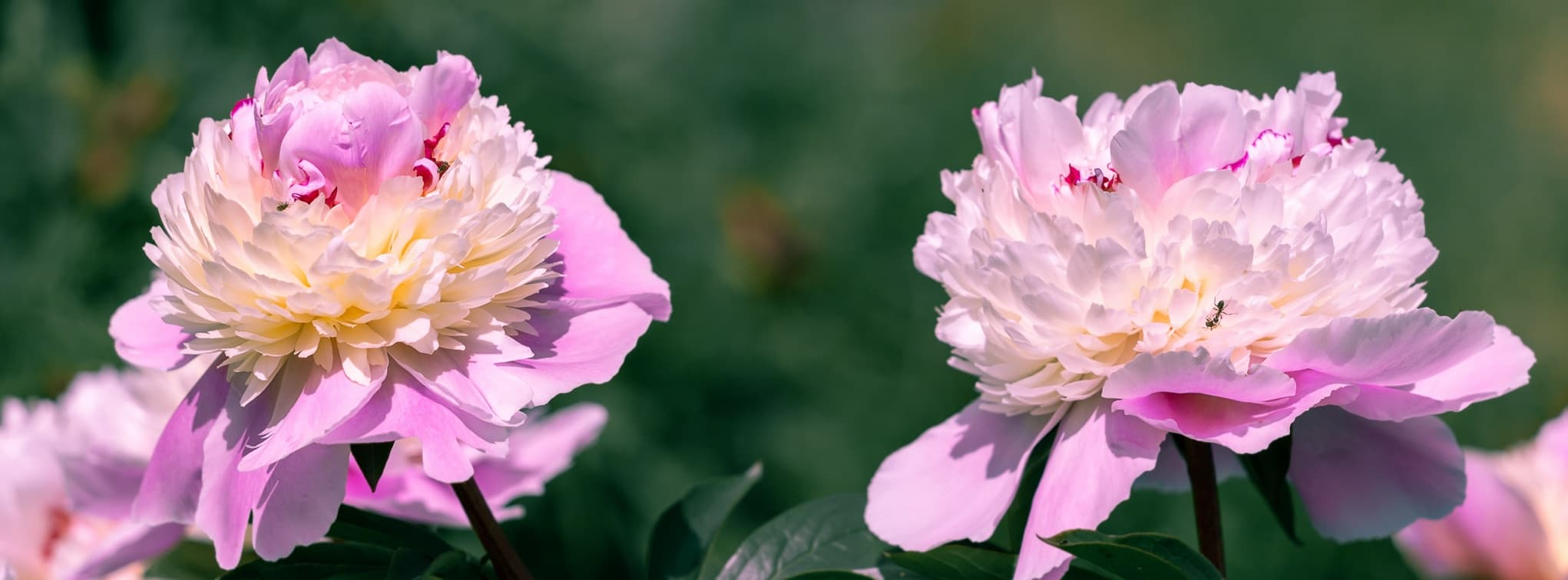 two pink peonies in the garden