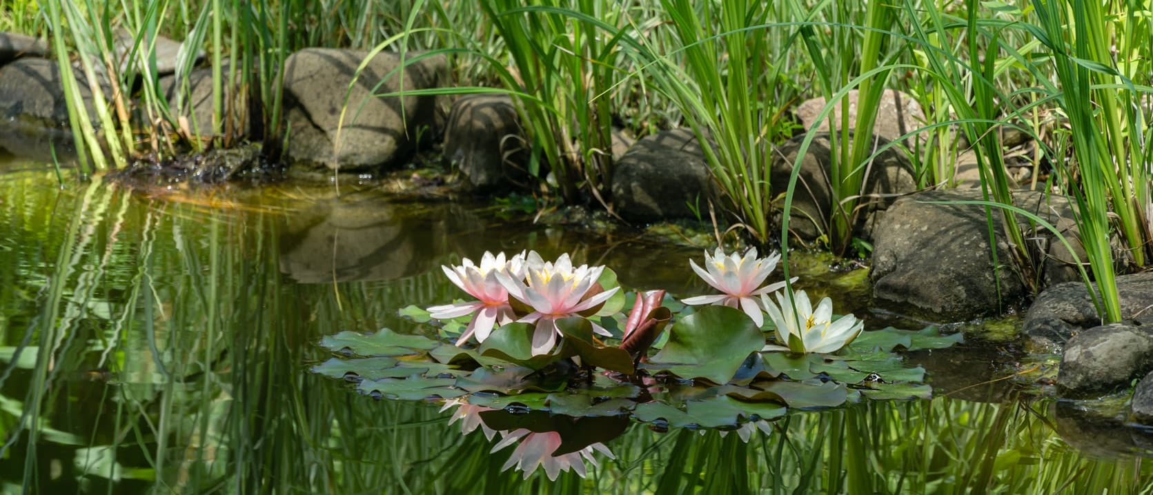 pink water lilies on a pond