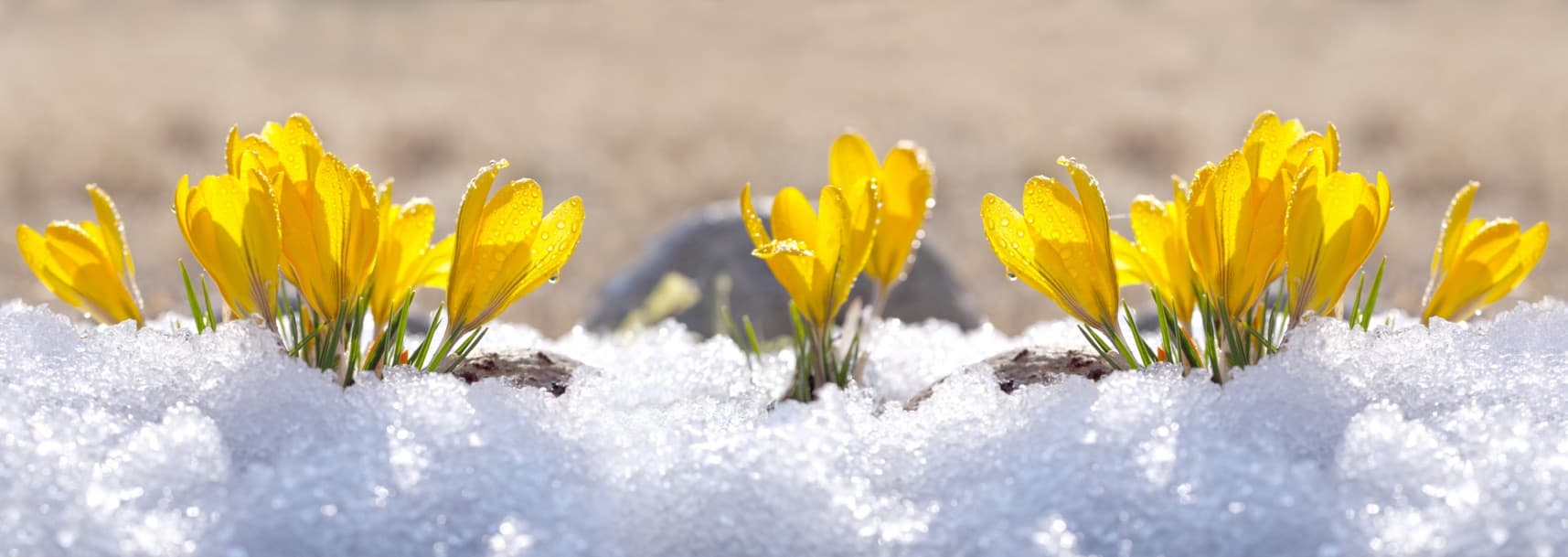 crocus plants covered in snow during winter
